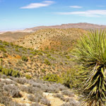 Yucca_pines_near_Ryan_Mountain_Trail,_Joshua_Tree_National_Park,_CA